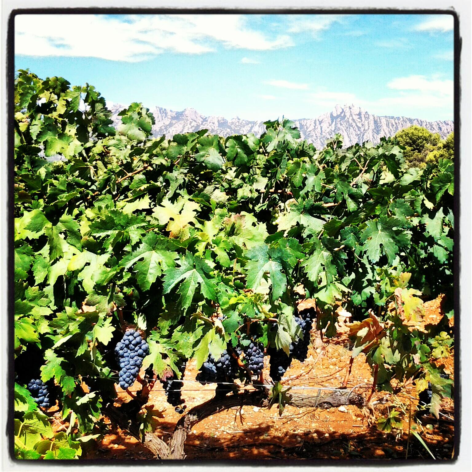 Entre la vinya i Montserrat